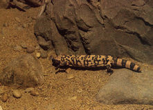 Gila monster, Heloderma suspectum Stock Photos