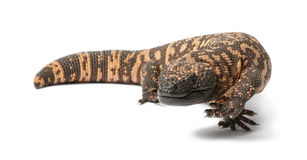 Gila monster - Heloderma suspectum, poisonous royalty free stock images