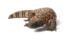 Gila monster - Heloderma suspectum, poisonous Stock Image