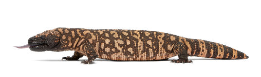 Gila monster - Heloderma suspectum, poisonous Royalty Free Stock Image