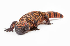 Gila Monster Lizard Crawling Forward Stock Photos