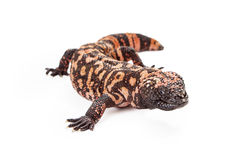 Gila Monster Lizard Isolated on White Stock Images