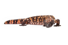 Gila Monster Lizard Looking Forward Stock Photos