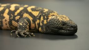 Gila Monster Resting stock footage