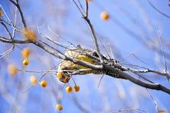 Gila woodpecker Stock Photos