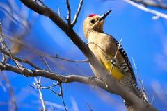 Gila Woodpecker Stock Photo