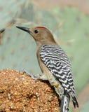 Gila Woodpecker Stockfotos