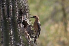 Gila Woodpecker Royalty-vrije Stock Foto's