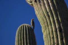 Gila Woodpecker Foto de Stock Royalty Free
