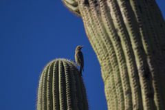 Gila Woodpecker royalty-vrije stock foto