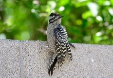 Gila Woodpecker aan de kant van een muur stock afbeelding