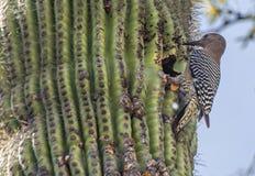 Gila Woodpecker bij Cactusnest, Arizona royalty-vrije stock afbeeldingen