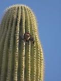 Gila Woodpecker in een Saguaro-Cactus stock afbeeldingen