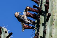 Gila Woodpecker feeding on flower of a tall cactus in Arizona`s Sonoran desert. Gila Woodpecker melanerpes uropygialis perched on a tall cactus in Arizona`s stock image