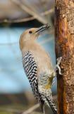 Gila Woodpecker, Male Stock Image
