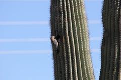 Gila Woodpecker Melanerpes-uropygialis royalty-vrije stock foto