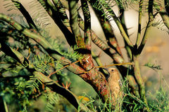 Gila Woodpecker, Melanerpes uropygialis Royalty Free Stock Images