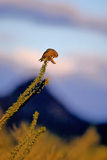 Gila Woodpecker, Melanerpes uropygialis Stock Photography