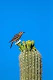 Gila Woodpecker, Melanerpes Uropygialis Stock Images