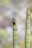 Gila Woodpecker, Melanerpes uropygialis Royalty Free Stock Photo