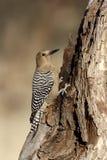 Gila woodpecker, Melanerpes uropygialis Stock Photo