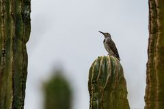 Gila woodpecker perched on cardon cactus. Clouds and mist. Gila Woodpecker melanerpes uropygialis perched on a tall cardon cactus pachycereus pringlei in royalty free stock photography