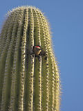 A Gila Woodpecker in a Saguaro Cactus Stock Images