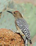Gila Woodpecker Stock Photos