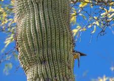 Gila Woodpecker Yellow Butt in de Cactus van Arizona royalty-vrije stock afbeeldingen