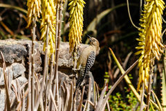 Gila woodpecker on yucca, Sonoran desert, Arizona. Gila woodpecker perched on a Yucca plant to feed, in the Sonoran desert of Arizona stock image