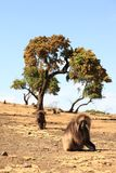 Gilada Baboons Stock Images