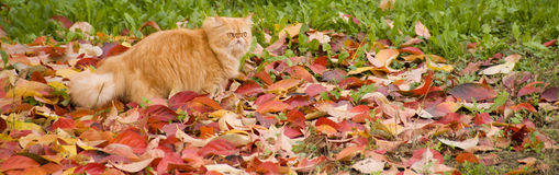 Gilbi cat on autumn leaves Stock Photos