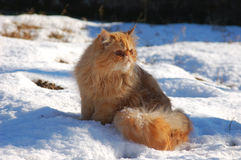 Red cat on snow. Red persian cat on snow Stock Images