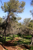 Gilboa forest, Israel. Green spring forest at Gilboa mountain, Israel Royalty Free Stock Photography