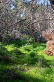 Gilboa forest, Israel. Green spring forest at Gilboa mountain, Israel Royalty Free Stock Images