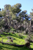 Gilboa forest, Israel. Green spring forest at Gilboa mountain, Israel Stock Photos