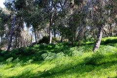 Gilboa forest, Israel. Green spring forest at Gilboa mountain, Israel Stock Photography