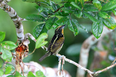 Gilded Barbet Royalty Free Stock Images