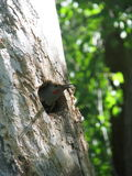 Gilded Flicker peeks out from hole in tree. A Gilded Flicker bird in the woodpecker family looks out a hole in a tree in the forest royalty free stock photography