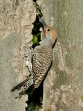 Gilded Flicker Woodpecker Royalty Free Stock Photos
