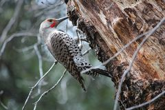 Free Gilded Flicker Woodpecker Stock Photos - 63554773