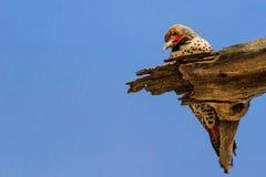 Gilded Flicker woodpecker on dead wood Stock Photo