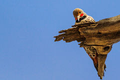 Gilded Flicker woodpecker pecking on dead wood stock photo