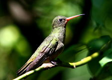 Gilded Hummingbird, Hylocharis chrysura stock photo