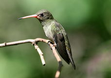 Gilded Hummingbird, Hylocharis chrysura Royalty Free Stock Photo