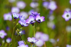 Gilia Tricolor (Polemoniaceae) Royalty Free Stock Photography