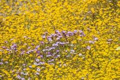 Giliawildflowers die onder goudvelden, Californië bloeien royalty-vrije stock fotografie