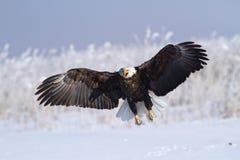 Gillende adelaar stock afbeelding