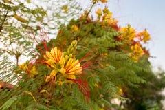 Gilliesii Caesalpinia, κοινό όνομα - λουλούδι πουλιών του παραδείσου Στοκ φωτογραφία με δικαίωμα ελεύθερης χρήσης