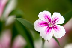Pink Carnation flowers in summer garden. Dianthus caryophyllus. stock photography